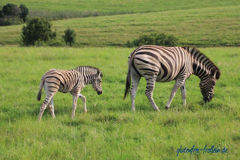 Zebras Plettenberg Bay Südafrika