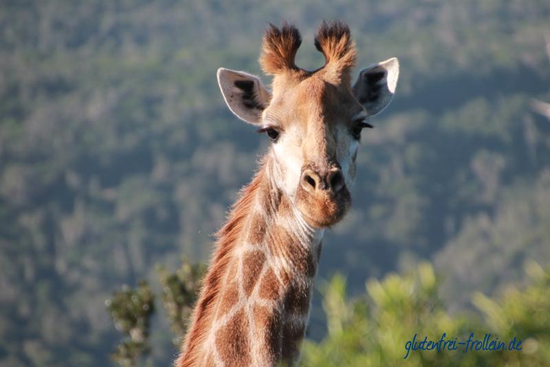 Giraffe Sibuya Reserve Südafrika