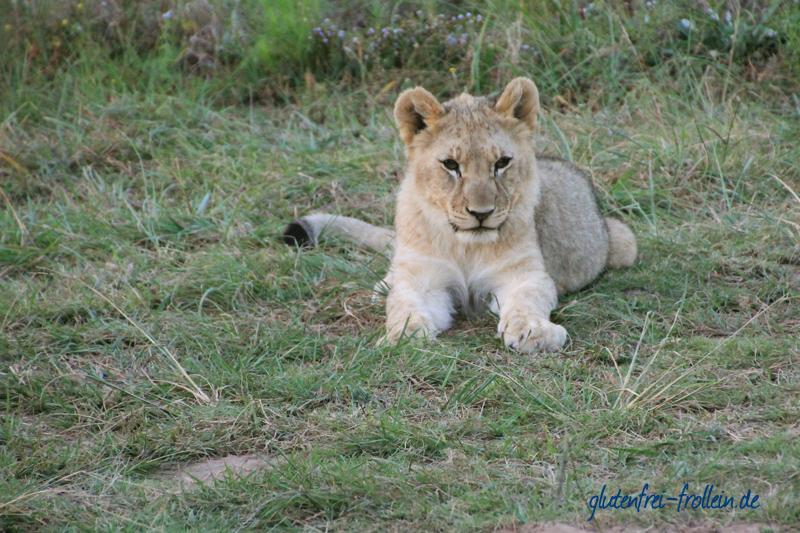 Löwe im Sibuya Game Reserve Südafrika