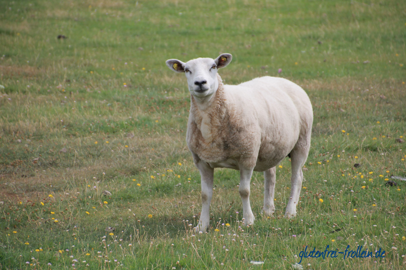 Schaf auf Amrum am Deich